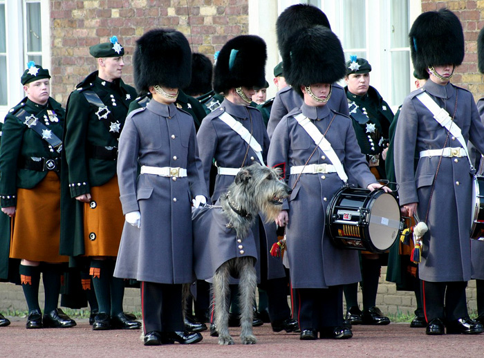 Irish wolfhound (Ιρλανδικος Λυκοθηρας )